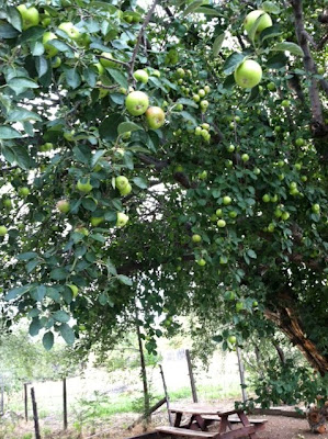 An apple tree in Tesuque